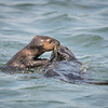 Baby Sea Otter Taking Food from Mom