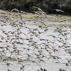 Fly up of Western Sandpipers, Elkhorn Slough