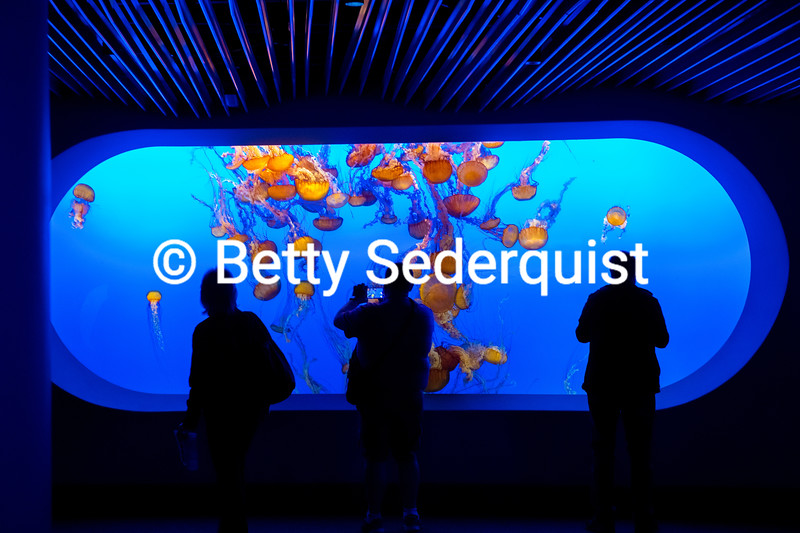 Sea Nettle Tank and Human Onlookers, Monterey Aquarium