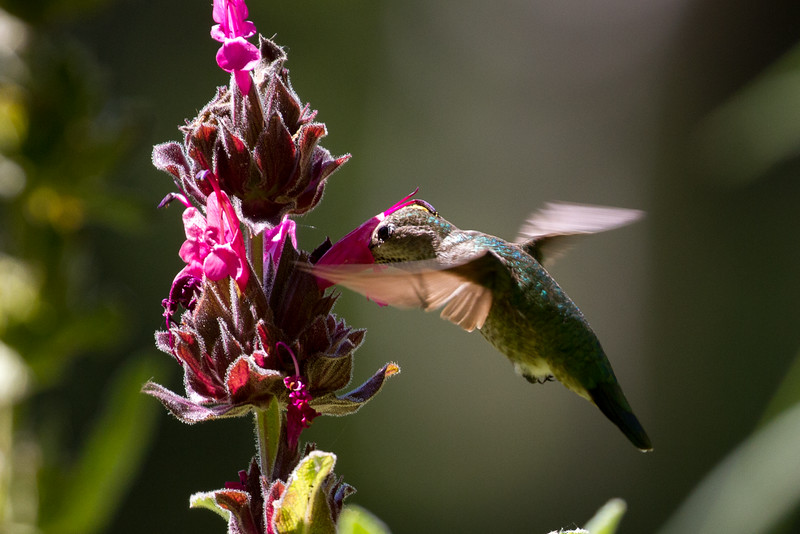 California Hummingbird