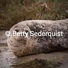 Harbor Seal, Elkhorn Slough