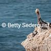 Brown Pelican, Santa Cruz