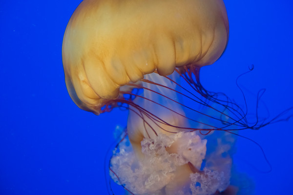 Sea Nettle Jelly Closeup