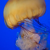 Sea Nettle Jelly Closeup