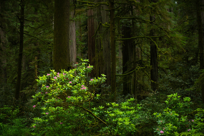 Rhododendrons in the Redwoods