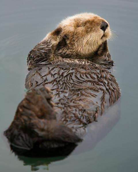 """""""Morro Bay Otter 2"""""""