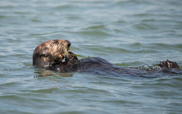 Sea Otter Eating Crab, Elkhorn Sough, Monterey Bay, California