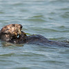 Sea Otter Eating Crab, Elkhorn Sough, Monterey Bay, California