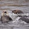 Fighting Sea Otters