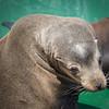 Young California Sea Lion