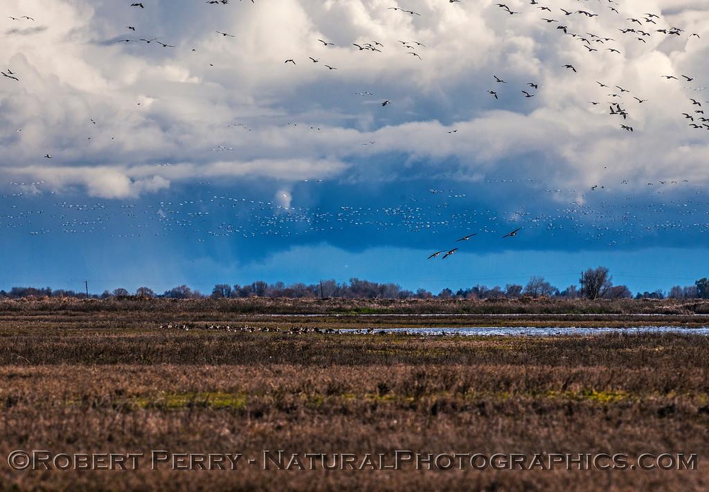 Chen caerulescens massive flocks in flight & storm in back 2017 01-23 Sacramento NWR-139