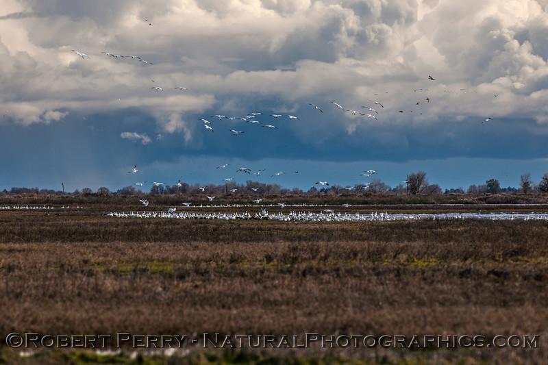 Chen caerulescens massive flocks in flight & storm in back 2017 01-23 Sacramento NWR-204