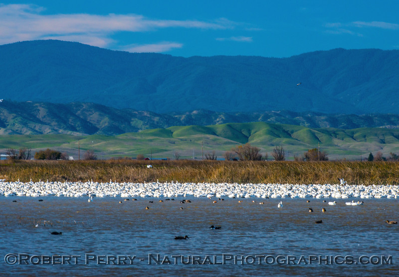 Chen caerulescens snow geese in pond sleeping 2016 12-18 Sacramento NWR-005