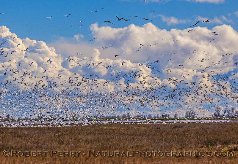 Chen caerulescens massive flocks in flight & storm in back 2017 01-23 Sacramento NWR-153