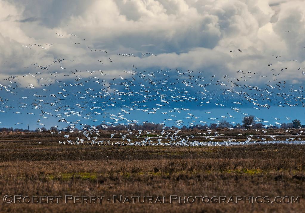 Chen caerulescens massive flocks in flight & storm in back 2017 01-23 Sacramento NWR-172