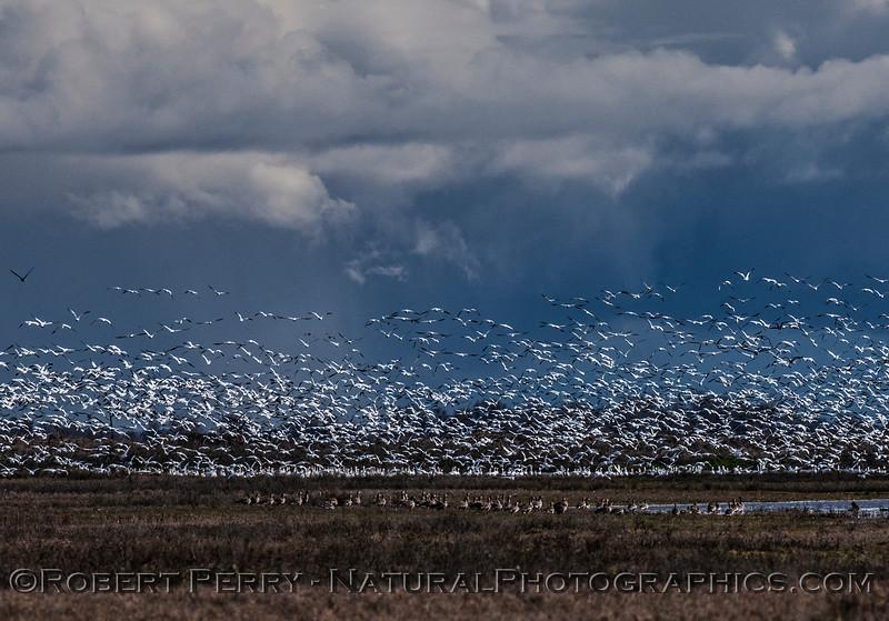 Chen caerulescens massive flocks in flight & storm in back 2017 01-23 Sacramento NWR-048