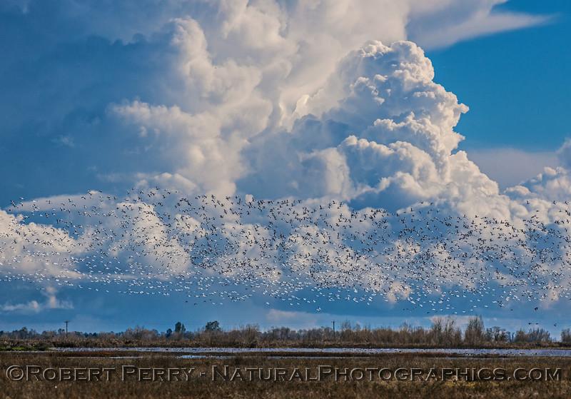 Chen caerulescens massive flocks in flight & storm in back 2017 01-23 Sacramento NWR-075