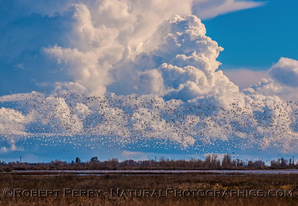 Chen caerulescens massive flocks in flight & storm in back 2017 01-23 Sacramento NWR-073