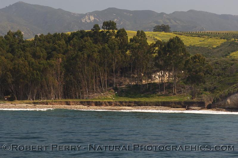 Grove of trees where Monarch Butterflies nest; west Santa Barbara coastline.