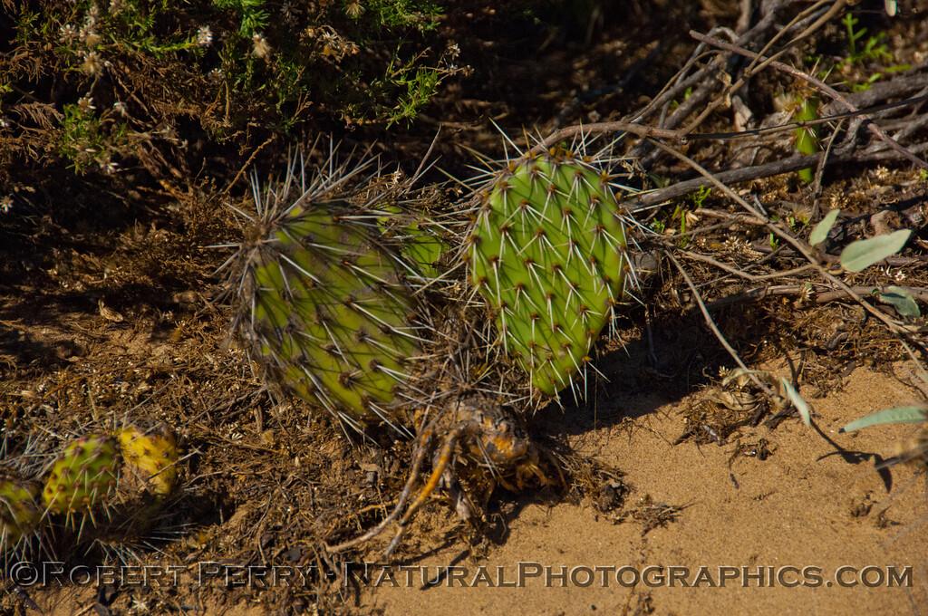 Opuntia littoralis prickley pear cactus 2012 12-20 Big Dume-038