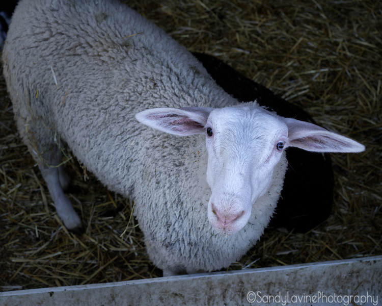 Pennyroyal Sheep