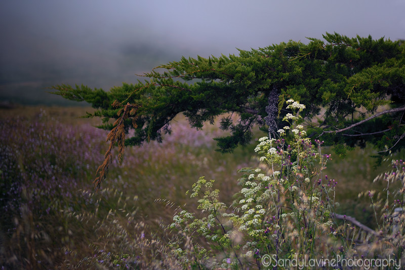 Point Reyes Cyprus Fog Two