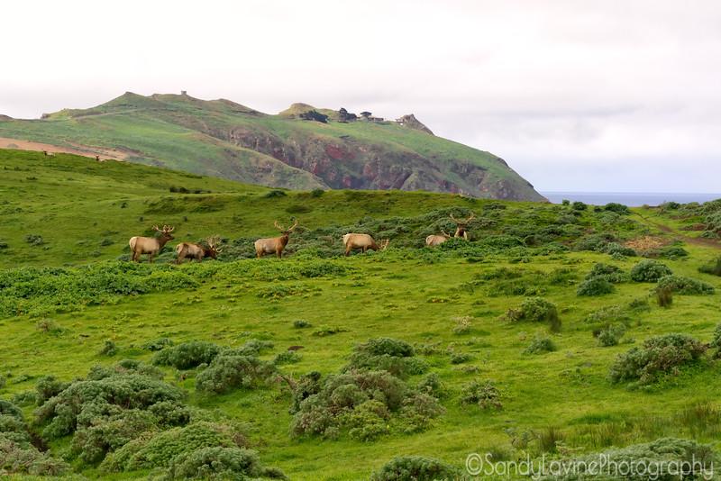Tule Elk The Guys