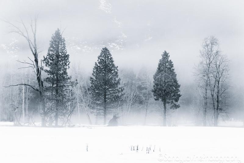 Yosemite Meadow Trees