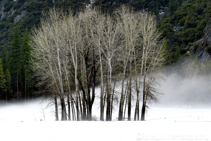Group of Trees In the Fog