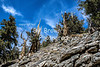 Shulman Grove of Bristlecone Pines