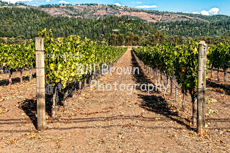 Rows of Grapes in Napa