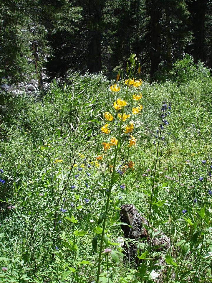 Tiger Lilly, Monkshood and Swamp Onions.<br /> <br /> High Sierra: North Fork Big Pine Creek: Sam Mack Meadows: High Glacier Camp: Palisade Glacier: Palisades: Mount Sill: Swiss Arete