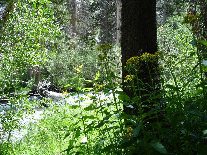 Bigpine Creek and wallflowers.<br /> <br /> High Sierra: North Fork Big Pine Creek: Sam Mack Meadows: High Glacier Camp: Palisade Glacier: Palisades: Mount Sill: Swiss Arete
