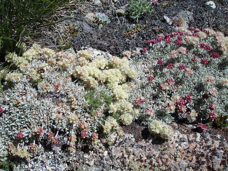 Sempervivum?<br /> <br /> High Sierra: North Fork Big Pine Creek: Sam Mack Meadows: High Glacier Camp: Palisade Glacier: Palisades: Mount Sill: Swiss Arete