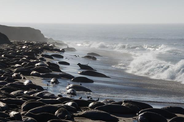 Elephant Seals at Piedras Blancas, Central Coast