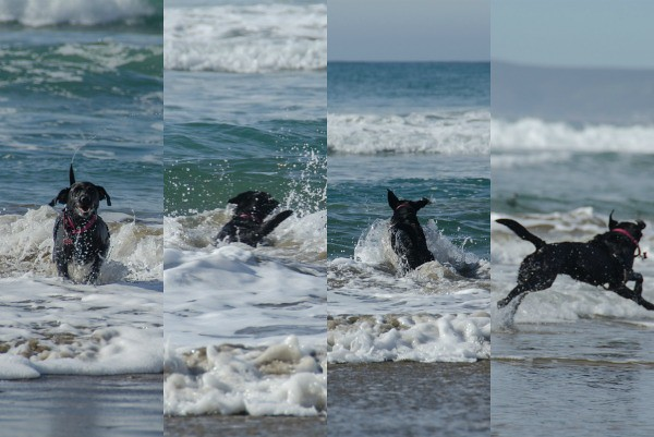 Dog playing in the surf at North Point Beach, a dog-friendly off-leash beach in Morro Bay, California