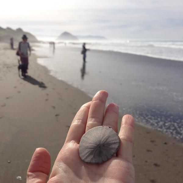 Sand dollars on the Central California Coast: North Point Beach, Morro Bay