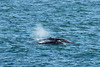 Gray Whales 8-28-2010