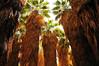 California Fan Palms (Washintonia filifera) Thousand Palms Oasis Coachella Valley Preserve