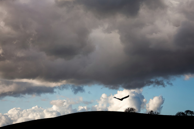 Gliding Raptor, Del Valle Regional Park, Livermore CA (disclosure: location of bird in photo was moved in Photoshop)