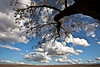 Tree and Clouds, Livermore CA