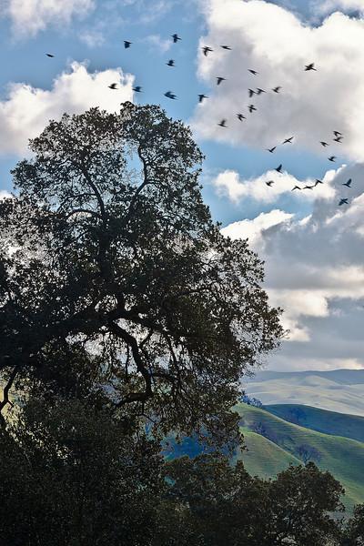 Flock of Birds Flying over Pleasanton Ridge Park, Pleasanton CA