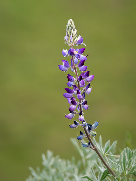 Purple Lupine with Spring-Green Grass in the Background
