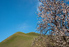 Blossoming Fruit Tree and Green Hills