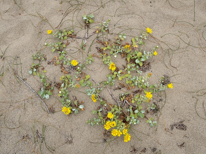 Daisies and Roots on Beach