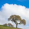 Winter Oaks Framed by Cloud, Marin County CA