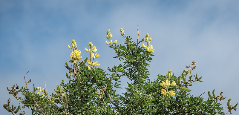 Yellow Lupine Against Blue Sky