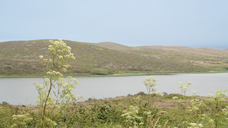 Cow Parsnip and Abbotts Lagoon