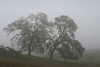 Two Leaning Oaks in Fog, Near Highway 88, CA