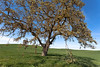Oak Tree and Spring Crops, Near Waterford CA